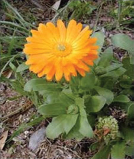 calendula goudsbloem